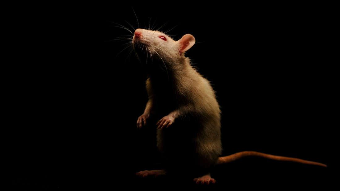 قراءة عقول الفئران أصبحت الآن ممكنة! ماذا بعد؟