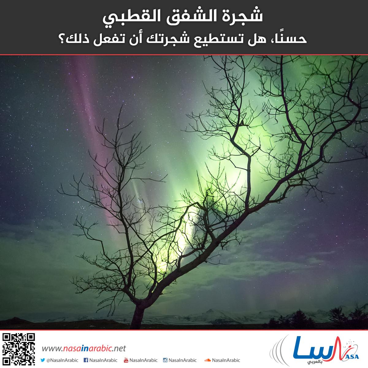 شجرة الشفق القطبي