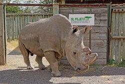 موت سودان sudan آخر ذكر متبقٍ من سلالة وحيد القرن الأبيض الشمالي