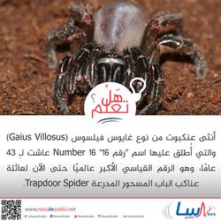 أنثى العنكبوت