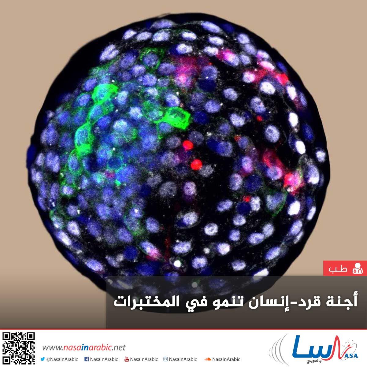 أجنة قرد-إنسان تنمو في المختبرات