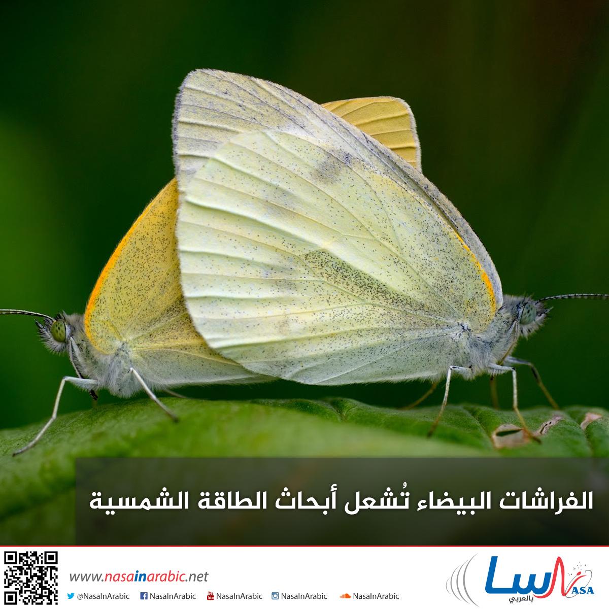 الفراشات البيضاء تُشعل أبحاث الطاقة الشمسية