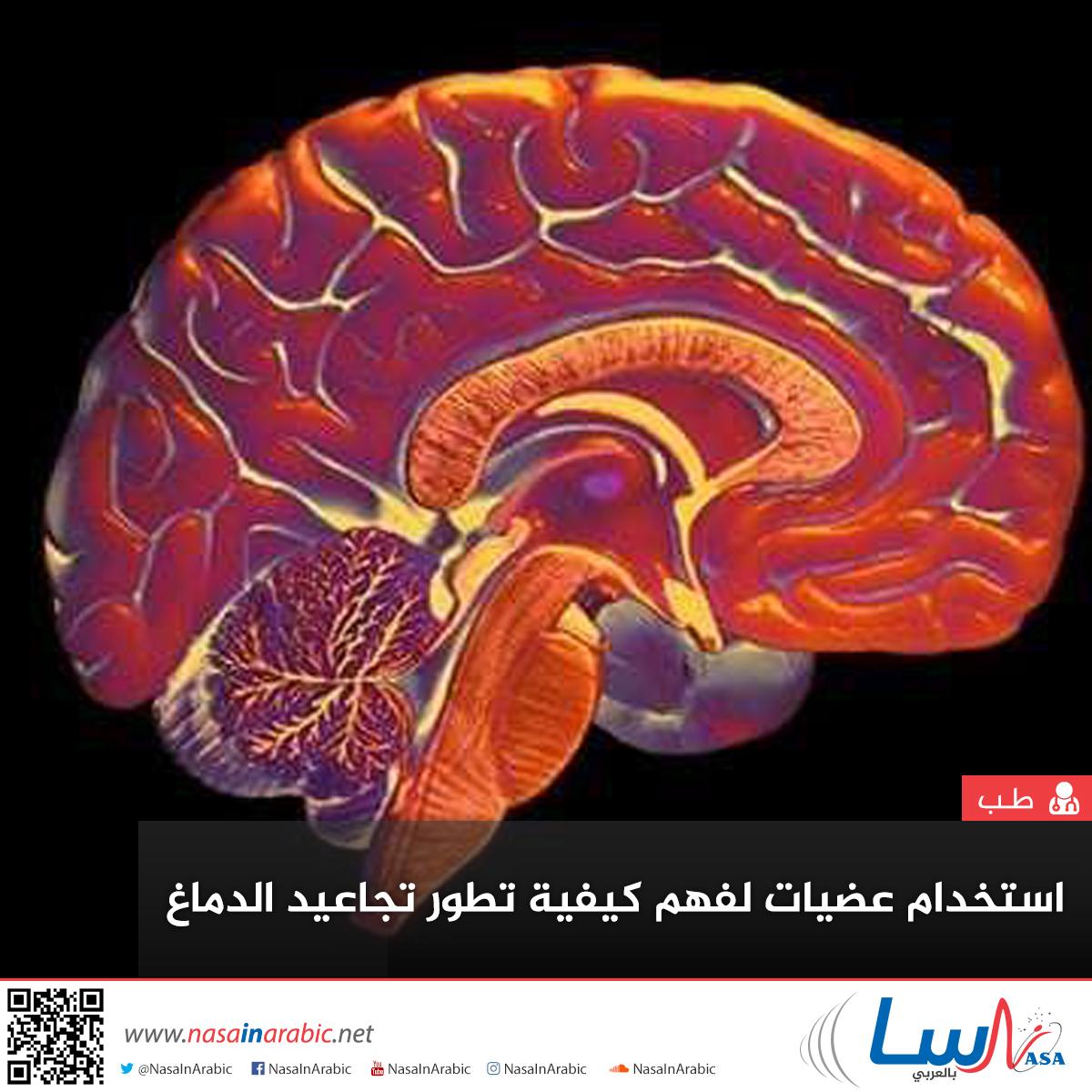 استخدام عضيات لفهم كيفية تطور تجاعيد الدماغ