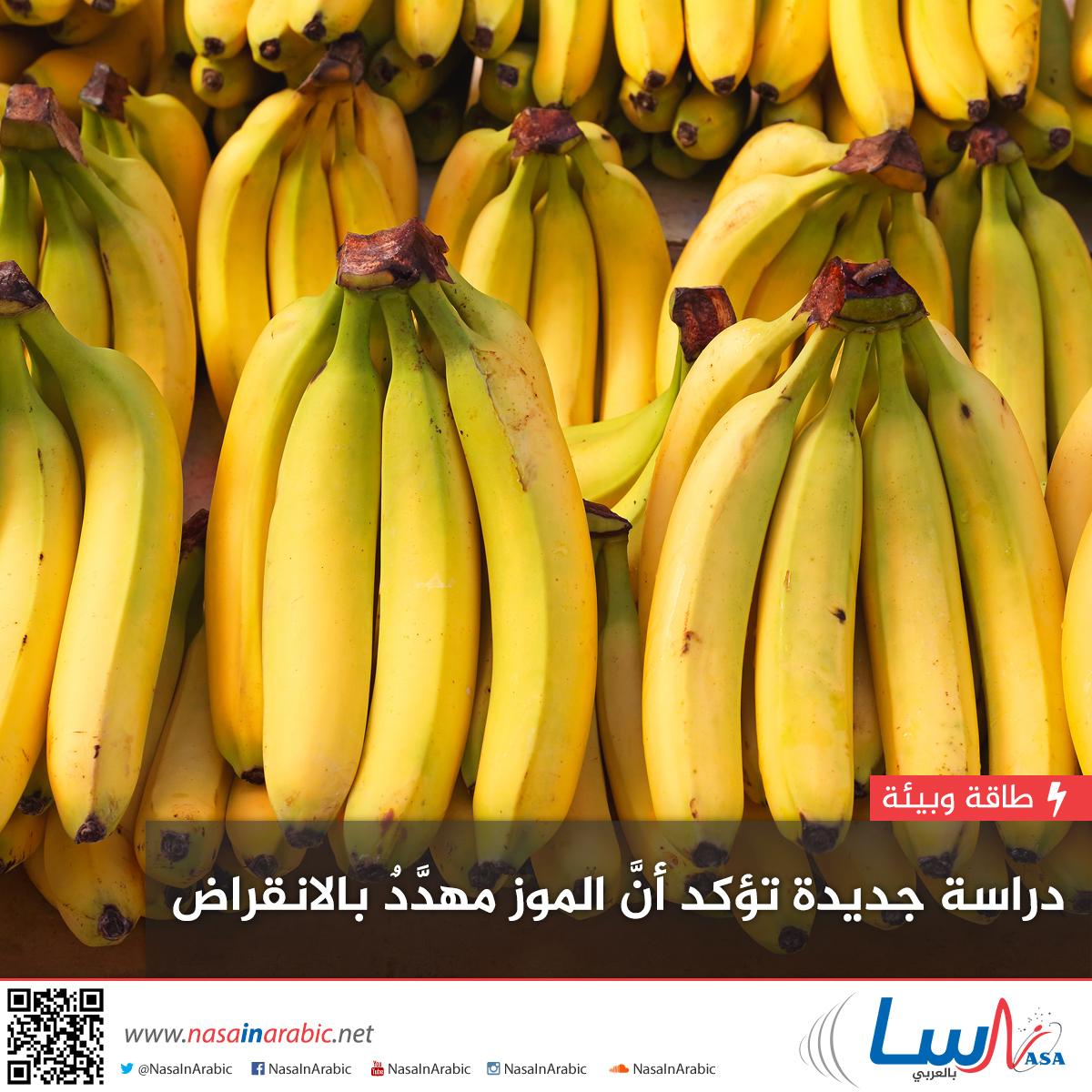 دراسة جديدة تؤكد أنَّ الموز مهدَّدٌ بالانقراض