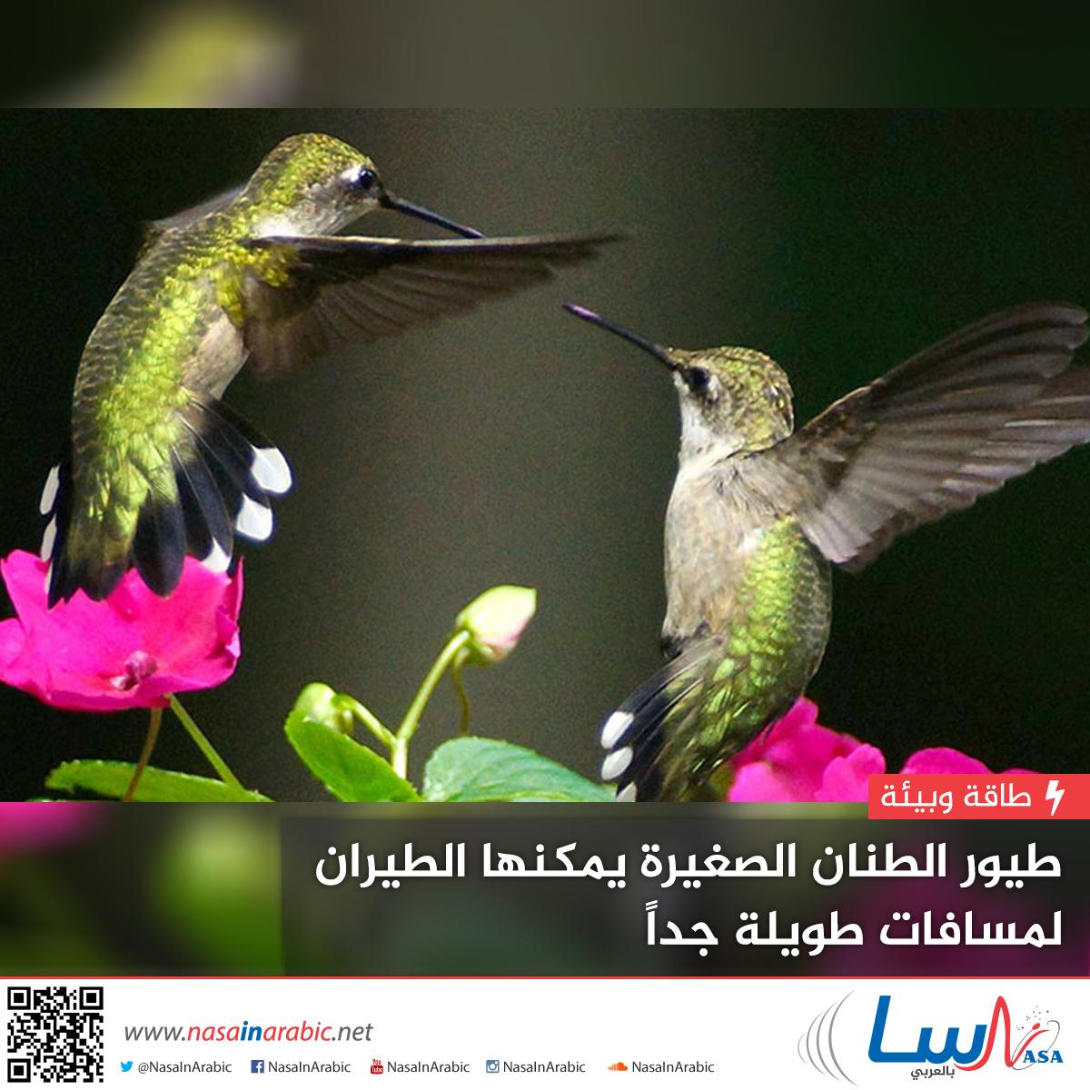 طيور الطنان الصغيرة يمكنها الطيران لمسافات طويلة جدا