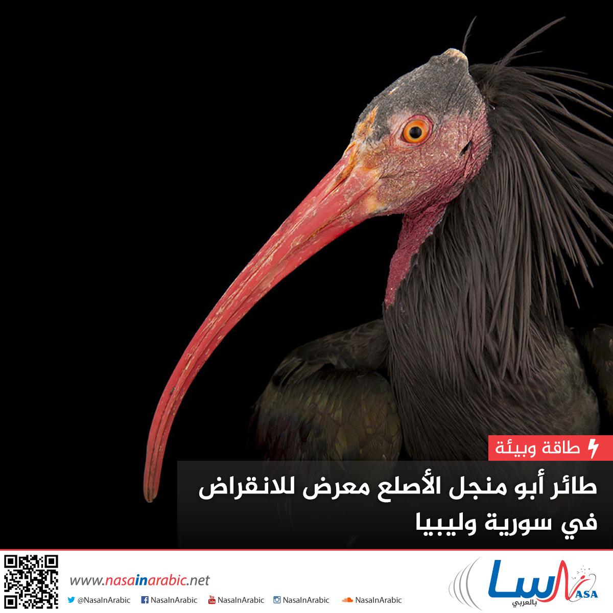 طائر أبو منجل الأصلع أحد الطيور البرية المعرضة للانقراض في سوريا وليبيا