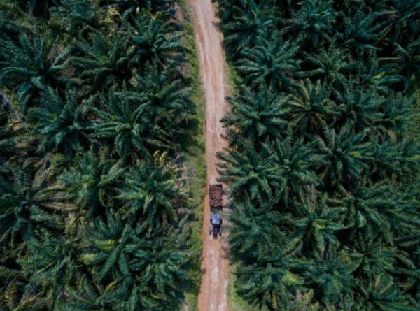 تُحصد مجموعة من ثمار زيت النخيل باليد ثم تُنقل بالشاحنات إلى مصنع في البر الرئيسي لماليزيا، حيث تُعالَج. تُقطع الغابات القديمة حول المناطق الاستوائية لتوفير مساحة لمزارع زيت النخيل. عندما تضيع هذه الغابات، ينطلق الكربون الذي احتجزته في أنسجتها في الجو، مما يساهم في زيادة الاحتباس الحراري. حقوق الصورة: Photograph By Pascal Maitre, Nat Geo Image Collection