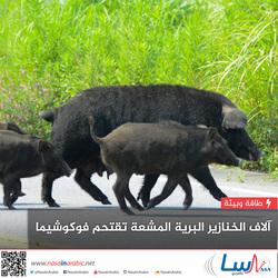 آلاف الخنازير البرية المشعة تقتحم فوكوشيما.. ولا أحد يعلم كيفية إيقافها