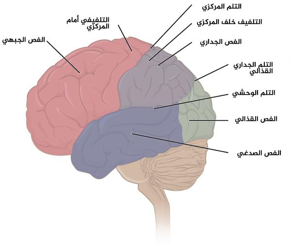 الشكل 2 فصوص قشرة المخ: تقسم قشرة المخ إلى أربعة فصوص، ويزيد الطيُّ الكثيرَ لهذه القشرة من مساحة السطح المتاحة من أجل وظائف المخ