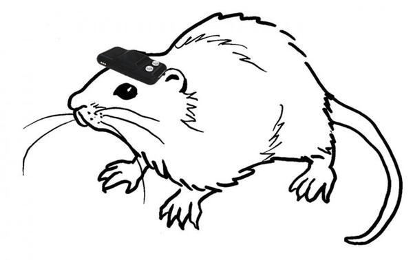 هذا توضيحٌ لفأرٍ يرتدي الجهاز الجيومغناطيسي،  حقوق الصورة: NORIMOTO AND IKEGAYA