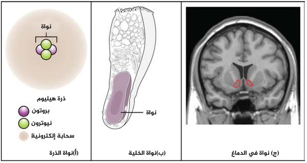 """ما هي النواة؟ (أ) تحتوي نواة الذرة على بروتونات ونيوترونات. (ب) نواة الخلية هي عضيّة تحتوي على جزيء الـDNA. (ج) النواة في الجهاز العصبي المركزيّ هي عبارة عن مركز وظيفيّ، بحيث تحتوي على أجسام خلوية للعديد من العصبونات، تظهر هنا محاطة بالأحمر. حقوق الصورة: """"Was a bee""""/Wikimedia Commons."""