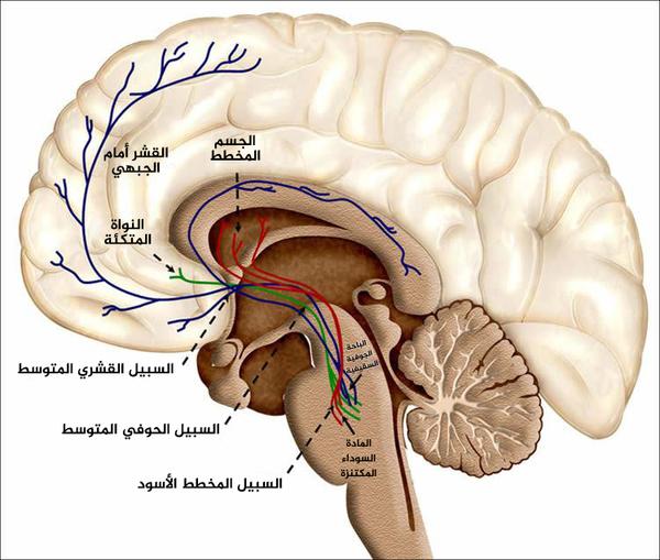 مسارات الثواب الخاصة بالدوبامين في الدماغ البشري. مصدر الصورة: NeuroscienceNews.com .. أخذت الصورة من البيان الصحفي لجامعة كامبريدج