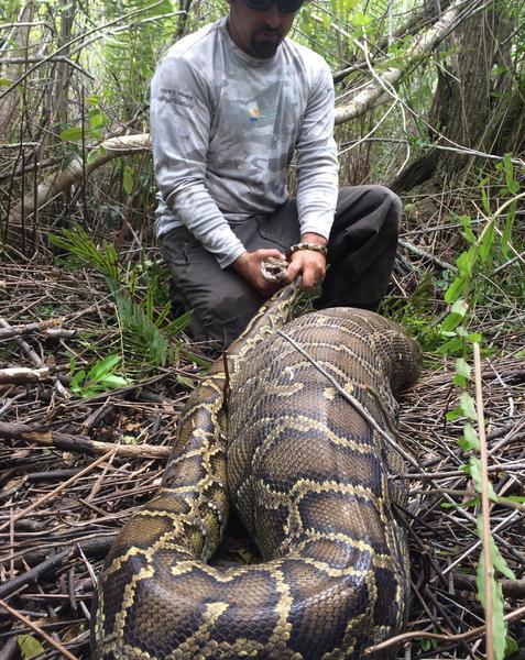 عندما عثر علماء الأحياء على الثعبان، كان بطنه منتفخًا بوجبة الغزال الحديثة. حقوق الصورة: Conservancy of Southwest Florida