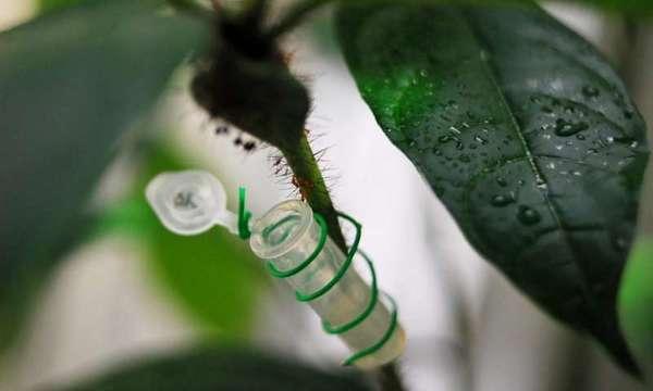 قام العلماء في جامعة تورونتو بإطعام أنزيم منشّطٍ للنمل الطبيعي الجاري في الحقول، وذلك لتحديد كيفية تأثير هذا الأنزيم على سلوك النمل وتصرّفاته. إن التجويف في غصن نبات كورديا نودوسا يأوي في داخله نملًا برتقاليًا صغيرًا جدًا يُدعى (Allomerus Octoarticulates). حقوق الصورة: جي آي ميللير G. A. Miller