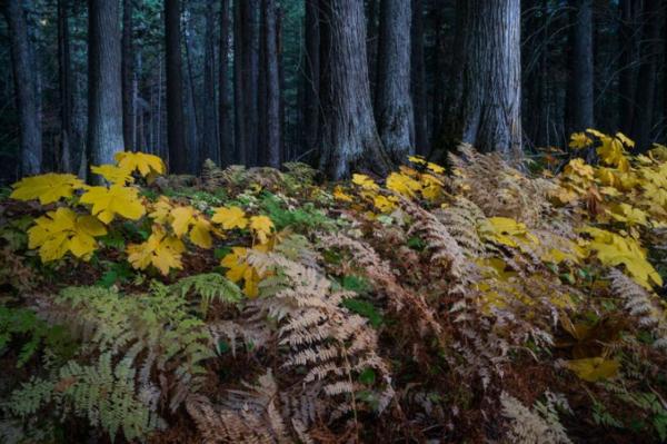 في حديقة جلاسير الوطنية، تشعر الغابات بآثار ذوبان الجليد المبكر والصيف الطويل الجاف. يتفاقم الضغط على نباتات الحديقة بسبب تغير المناخ. حقوق الصورة: Photograph By Keith Ladzinski, Nat Geo Image Collection