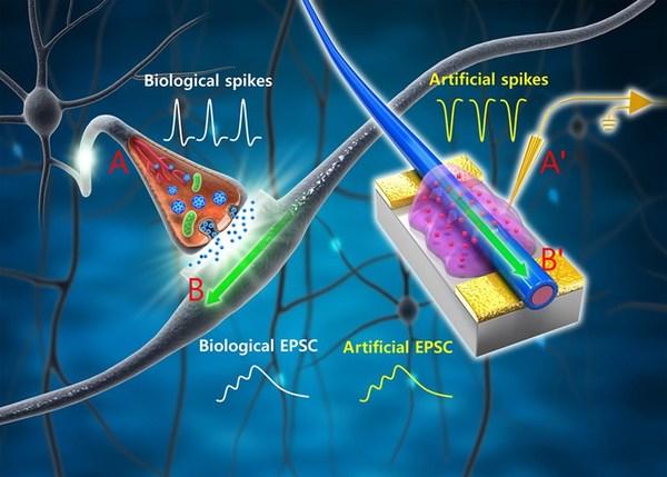 رسم توضيحي لشبكة عصبية بيولوجية، وكذلك لترانزستور مشبكي ذي سلك نانوي عضوي، والذي يحاكي المشبك البيولوجي.    خطوط التوصيل والمسبار ('A) في الشبكة العصبية الاصطناعية تقابل المحوار (A) في العصب الطبيعي، والذي ينقل الحسكات الكهربائية من العصبون السابق إلى غشاء العصبون التالي. تتحرك الأيونات المتحركة الموجودة في الهلام الأيوني في المجال الكهربائي بشكلٍ مشابهٍ للنواقل العصبية في الشق المشبكي، والتي تتسبب فيما بعد بإنشاء تيار محفِّز في العصبون التالي Excitatory postsynaptic current، وبالتحديد في تغصنات العصبون التالي.    أما السلك النانوي العضوي ('B) في الشبكة العصبية الاصطناعية مع الإلكترود المفرِّغ فتشابه التغصنات الطبيعية ('B) في العصب الطبيعي. ينشأ التيار المحفز في العصبون التالي (EPSC) في السلك النانوي العضوي نتيجة للحسكات الكهربائية في العصبون الأول، وينقل إلى العصبون التالي عن طريق وصلاتٍ إلى الإلكترود المفرِّغ. حقوق الصورة: Lee et al./Science Advances.