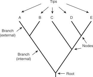 شكل الشجرة التطورية التقليدية التي تتألف من جذر والفروع والعقد، مكونات الشجرة التطورية