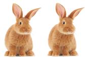 الأرنبين بشكلٍ كامل بعد شهر واحد