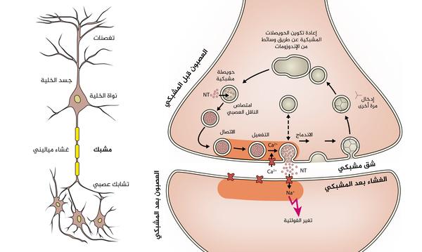 رسمة توضيحية للخلية العصبية على اليسار وللمشبك على اليمين. حقوق الصورة: MpI للكيمياء الفيزيولوجية البيولوجية