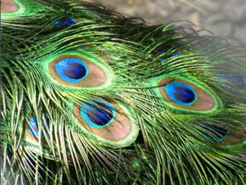 """يظهر ذيل الطاووس بألوان براقة ونماذج شبيهة بالنماذج المستخدمة في التنويم المغناطيسي، وتظهر الريشات المضاءة من الخلف بلون بني خفيف. تابع القراءة لتعرف السبب!  حقوق الصورة: """"Peacock Feather"""" by user:AlexDuarte - Own work. Licensed under Public Domain via Wikimedia Commons"""