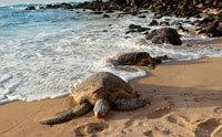 تميل السلاحف البحرية إلى وضع بيوضها عند حدوث المد والجزر في فصل الربيع، وذلك عندما تصل هذه الظاهرة إلى أعلى ارتفاع لها. يسمح المدر والجزر للسلاحف البحرية بالسباحة إلى الشاطئ لتضع بيوضها عند أعلى علامة يصل إليه الماء (وهنا تفقس البيوض بمعدل أفضل). المصدر: Kubrak78 / iStockphoto