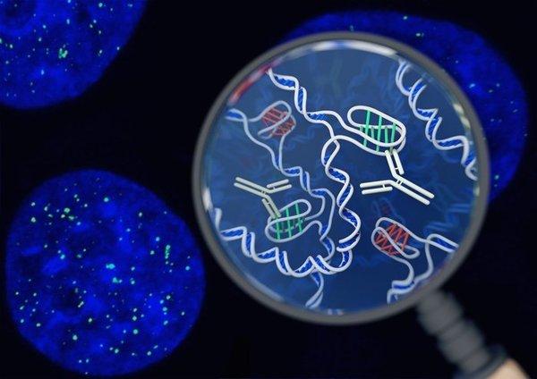 تصور فني يظهر الجسيمات الضدية iMab في نواة الخلية وأسفلها صورة حقيقية بالتألق المناعي. حقوق الصورة (Chris Hammang)