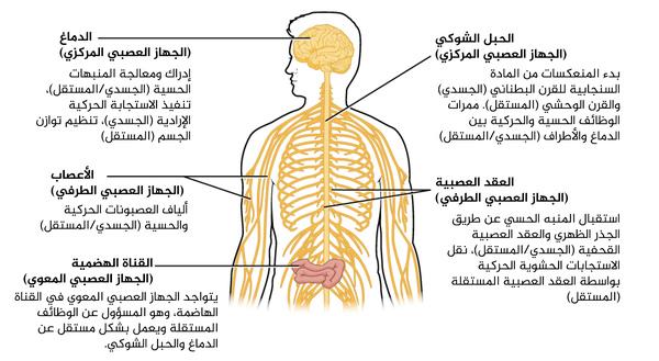 البنى الجسمية، والمستقلة، المعوية للجهاز العصبي. تشمل البنى الجسمية الأعصابَ الشوكية بأليافها الحركية والحسية، وكذلك العقد العصبية الحسية (عقد الجذور الخلفية وعقد الأعصاب القحفية). وتتواجد البنى المستقلة في الأعصاب، وهي تشمل العقد الودية واللاودية (sympathetic and parasympathetic). يشتمل الجهاز العصبي المعوي على النسيج العصبي في القناة الهضمية