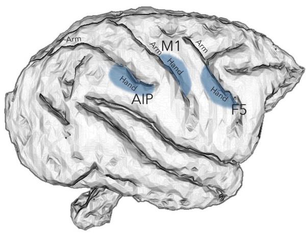 يتم التحكم بحركات اليد في الرئيسات في مناطق الدماغ AIP، F5، و M1. حقوق الشكل: Stefan Schaffelhofer.