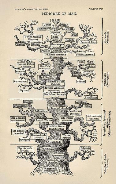 """نسخة انكليزية من شجرة إيرنست هايكل Ernst Haeckel من كتاب """"تطور الإنسان"""""""