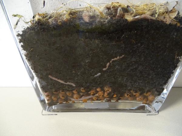 تتحكم الديدان علي الأرض في وعاء التربة، وهنا أيضاً الرخام الطيني المستخدم للصرف وقشر البطاطس (عشاء الديدان)، وأيضاً الأوراق القديمة المرئية من حبوب الجاودار التي لم تؤكل بعد.