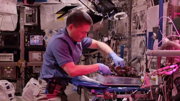 رائد الفضاء كيل ليندغرين Kjell Lindgren، يقوم بحصاد محصول الخس الذي نما على متن محطة الفضاء بواسطة تجربة نظام زراعة المحاصيل الفضائية Veggie.<br>المصدر: ناسا.