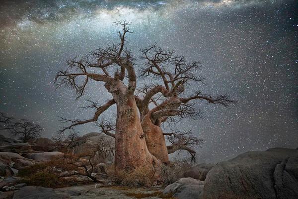أشجار أفريقيا القديمة المحاطة بغطاءٍ من النجوم
