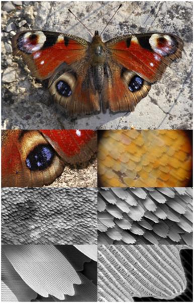 """فراشة الطاووس معروضة بتكبير متدرج، حيث تظهر بنية الجناح باستخدام المجهر الماسح الإلكتروني. حقوق الصـورة: """"Butterfly magnification series collage"""" by users SecretDisc, Shaddack, Michael Apel, and howcheng Licensed under CC BY-SA 3.0 via Wikimedia Commons - https://commons.wikimedia.org/.../File:Butterfly..."""