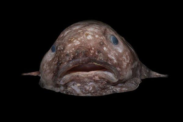 سمكة بلوب A blob fish حقوق الصورة: Rob Zugaro