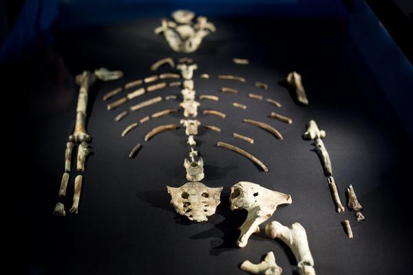 صورةٌ تعود لعام 2009 لأحفورة لوسي. حقوق الصورة Jason Kuffer (via Creative Commons)