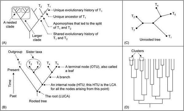 الفرق بين الشجرة التطورية ذات الجذر وغير المجذرة،يوضح الشكلA,B,D الأشجار ذات الجذر، يوضح الشكلC الشجرة من دون الجذر، الأصناف التي لديها نفس الصفات تتجمع ضمن العقد، وفي الشكل (A) يطلق على الفروع الحيوية الصغيرة التي توجد ضمن الفروع الحيوية الكبيرة بالمتضمنة، وفي الشكل(B)تدعى العقد النهائية التي تمثل الوحدات التصنيفية بالأوراق، وكل عقدة نهائية يمكن أن تشكل صنف أو جين أو تسلسل بروتيني، والعقد الداخلية تمثل الوحدات التصنيفية الافتراضية. كما يمثل HTU أخر سلف مشترك للعقد التي تنشأ من هذه النقطة ويطلق على السلالتين اللتان تنشأن من نفس العقيدة المجموعات الشقيقة، و الصنف الذي يكون خارج الفرع يسمى بالمجموعة الخارجية. تحتوي الأشجار المتجذرة على عقدة تتفرع منها بقية الشجرة ويطلق عليها أخر سلف مشترك عالمي