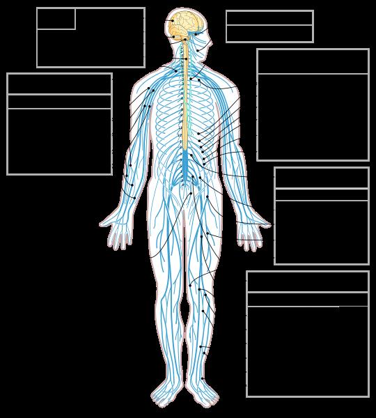 الصورة موجهة لمن لم يدرس التشريح: الجهاز العصبي المحيطي ذو لون أزرق والجهاز العصبي المركزي (أي الدماغ والنخاع الشوكي) ذو لون أصفر. حقوق الصورة Medium69/Wikimedia Commons