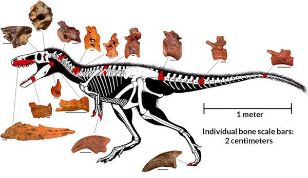 قِطَع اللغز: وجد الباحثون بالإضافة إلى القحف المحفوظ جيدًا أجزاءً عديدة أخرى (تظهر في الصورة باللون الأحمر) تعود إلى قريب تيرانوصور ريكس T-rex المسمى تيمورلينجيا. ويشير الحجم والشكل لهذه الأحافير إلى ديناصور عمره 90 مليون سنة كان كبيرًا بحجم الحصان تقريبًا. حقوق الصورة: Todd Marshall (drawing), S. Brusatte et al/PNAS 2016