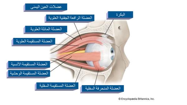 عضلات العين اليمنى. حقوق الصورة: Encyclopædia Britannica, Inc.