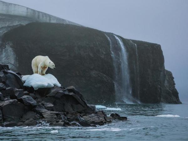 دب قطبيٌّ يقف على رأس جزيرة رودلف Rudolf Island في أرخبيل فرانز جوزيف لاند Franz Josef Land الروسي، حيث يستمرالجليد الدائم بالذوبان. حقوق الصورة: Photograph By Cory Richards