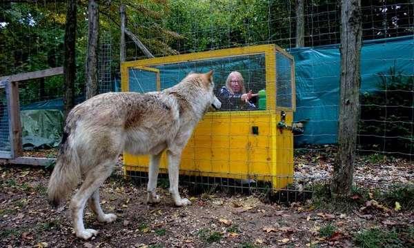 صورة للباحثة الرئيسية ميشيل لامب أثناء إجرائها اختباراً مع ذئب في مركز وولف للعلوم. حقوق الصورة: Caroline Ritter