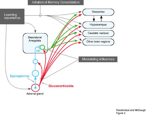 الشكل 2: يلخص عملية التفاعل بين الـ BLA والأنظمة الأخرى في تنظيم عملية توطيد الذاكرة.