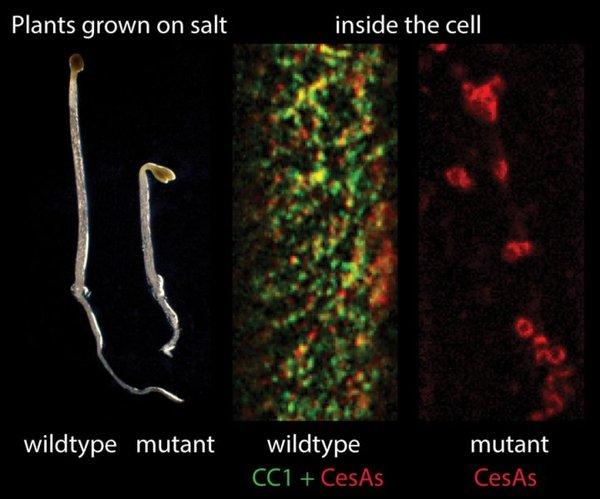 الصورة في اليسار (ضمن التربة الطبيعية): النباتات البرية الحاوية على بروتينات CC تنمو بشكل أفضل من النباتات الطافرة غير الحاوية على بروتينات CC. الصورة في اليمين (ضمن الخلية): صورة من داخل خلية نبات يتعرض لإجهاد ملحي: النباتات البرية الحاوية على برويتنات CC تُظهر وجود معقدات تركيب السيليلوز البروتينية في الغشاء البلازمي في صورتها النشطة، أما النباتات الطافرة غير الحاوية على بروتينات CC تظهر معقدات تركيب السيليلوز البروتينية غير نشطة. بروتينات CC تظهر باللون الأخضر، معقدات تركيب السيليلوز تظهر باللون الأحمر. حقوق الصورة: مجلة Cell
