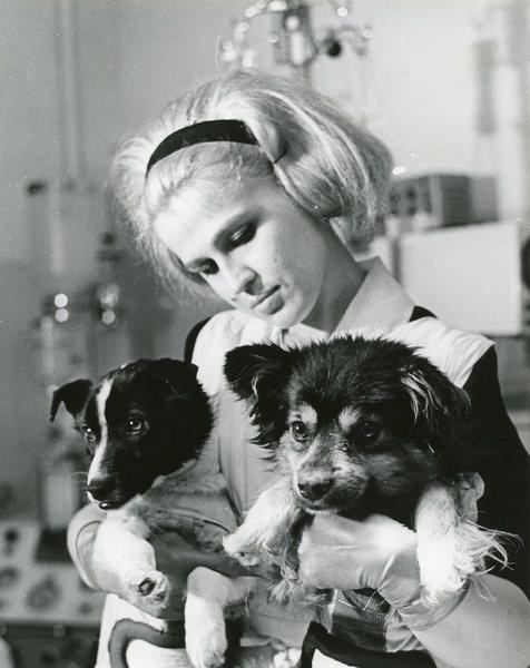 الكلبين فيتيروك Veterok (النسيم الخفيف) وأغاليك Ugolyok (الجمرة)، اللذان قضيا 22 يوماً في مدارٍ حول الأرض كجزءٍ من مهمة كوزموس 110. Wikipedia Commons/Tekniskam حقوق الصورة: