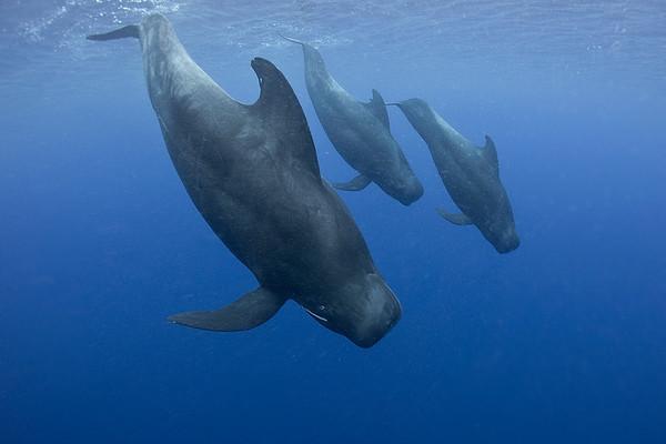 كل مجموعة من الحيتان الطيارة ذات الزعانف الطويلة تمتلك لهجتها الخاصة بها