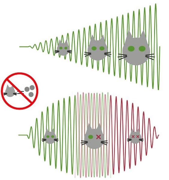 القطط الكلاسيكية مقابل قطط شرودنجر. يظهر الجزء الأعلى من الصورة الحقل الكلاسيكي داخل تجويف مضاء بإشارة مولدة بالأشعة المكروية. الطور هنا معرف بشكل واضح (الأخضر يشير إلى الطور الأصلي، والذي تنتمي إليه القطة) وتزداد شدته بشكل خطي. يظهر الجزء الأسفل النتائج التجريبية التي تكون فيها ثلاثة فوتونات محظورة داخل التجويف. في هذه الحالة، وفي وقت ما، فإن شدة الحقل ستصير مشبعة وستدخل في تراكب كمي لإحدى حالتين (الأصلية ويشار إليها بالأخضر، والحالة المقابلة ويشار إليها بالأحمر). بعد فترة المنتصف هذه، ستقل الشدة، محافظة على الحالة المقابلة حتى تصل إلى شدة صفر. بالمثل، يمكن القول إنّ النظام المتوسط يشير إلى تراكب حالتين كلاسيكيتين ذواتي طورين متقابلين، الأمر الذي يشبه كثيرًا تراكب قطة ميتة وحية. Credit: Benjamin Huard