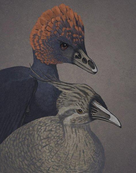 أداء فنان للديناصور غير الطائر أنشيورنيس (على اليسار)، وطائر التينامو وهو طائر حديث بدائي (على اليمين)، مع جعل الأنوف شفافة لإظهار عظام مقدمة الفك العلوي والحنك.  المصدر: John Conway