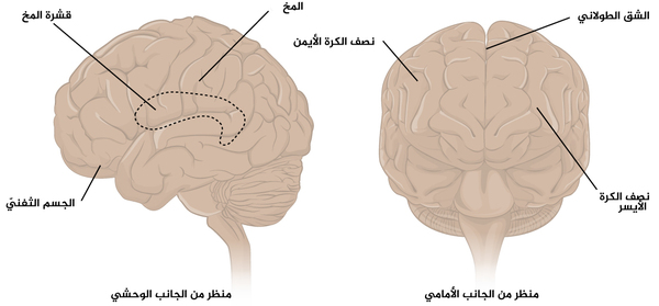 الشكل 1 المخ: المخ هو مكون كبير من مكونات الجهاز العصبي المركزي في البشر، كما أن الجزء الظاهر منه هو السطح ذو الانثناءات والذي يسمى بقشرة المخ