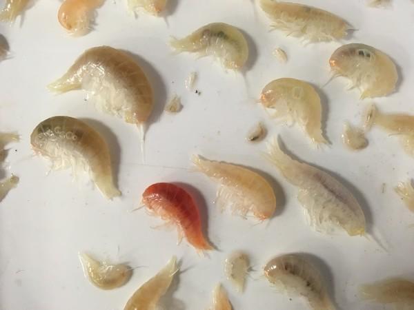 جمع العلماء مزدوجات الأرجل هذه من أعمق بقعة في قاع البحر، وهي بقعة التحدي العميق Challenger Deep في خندق ماريانا في المحيط الهادئ. حقوق الصورة: جامعة نيوكاسل Newcastle University