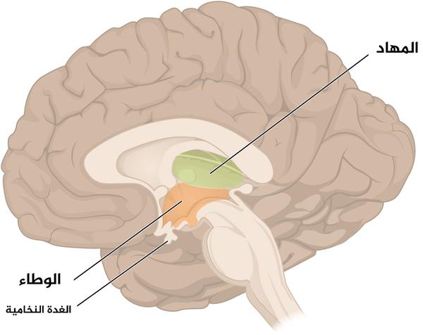 الشكل 6: الدماغ البيني: يتكون الدماغ البيني بشكل أساسي من المهاد والوطاء، واللَّذَين يشكلان جدران البطين الثالث. المهادان عبارة عن بنيتَين مطاولتَين، بيضيتيّ الشكل موجودتين على جانبي الخط الناصف وتلتقيان في المنتصف. يقع الوطاء أسفل المهاد وإلى الأمام منه، وينتهي بزاوية حادة تتصل بها الغدة النخامية